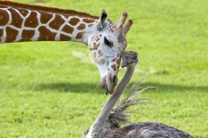girafe_autruche_01.jpg